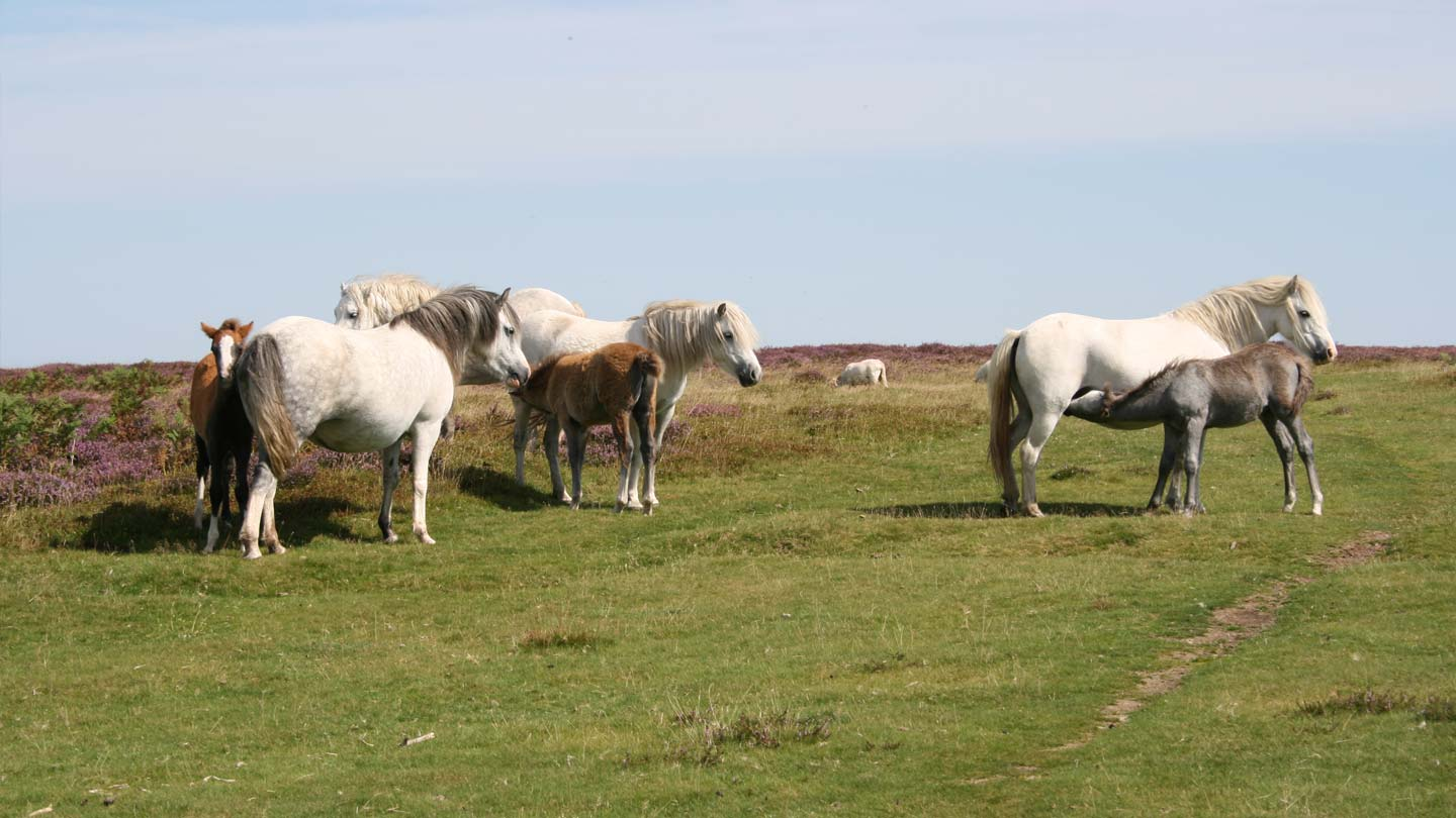 Wild ponies and foals on Long Mynd