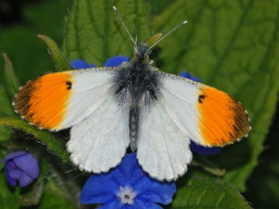 Orange-tip butterflies image