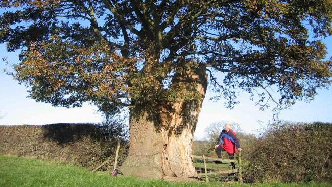 Find an oak tree image