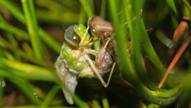 Dragonfly emergence image