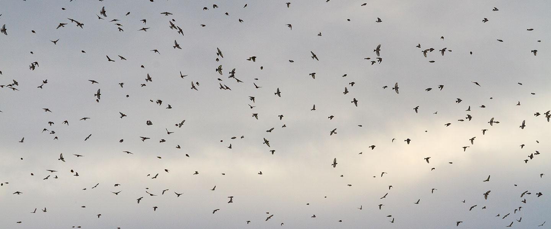 Loads of birds flying in the sky