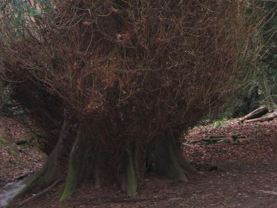Climb the curly wurly tree at Rectory Wood. This is an ancient lime tree image
