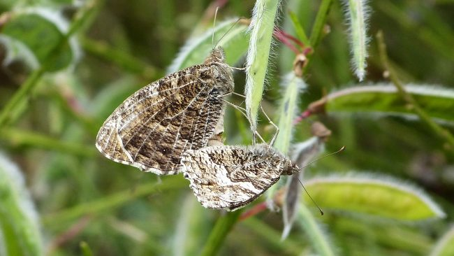 Come butterfly spotting when the grayling butterflies are in flight image